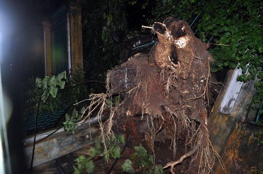 Cây cổ thụ bị trốc gốc ngã vào tường của Thảo Cầm Viên vào tối ngày 6-9 do ảnh hưởng của mưa lớn