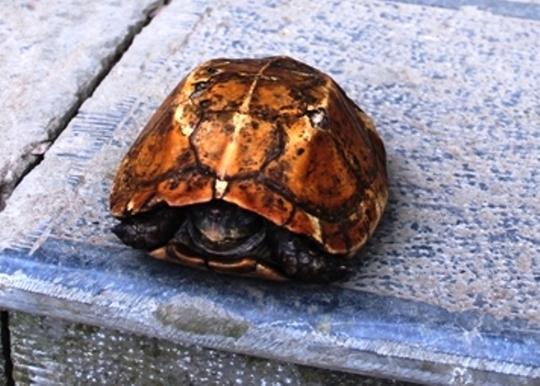 Cận cảnh chú rùa vàng có người hỏi mua nửa tỷ đồng