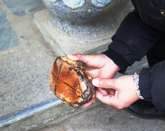 Chú rùa khuyết mất một chi trái sau.