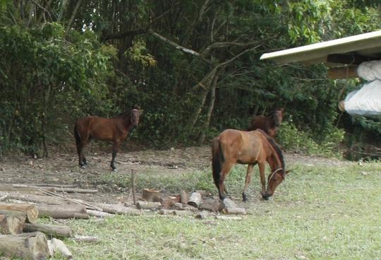 Sau khi không còn sức để thồ hàng, chở người, loài ngựa đỏ thường được người ta mua xẻ thịt bán và nấu cao.