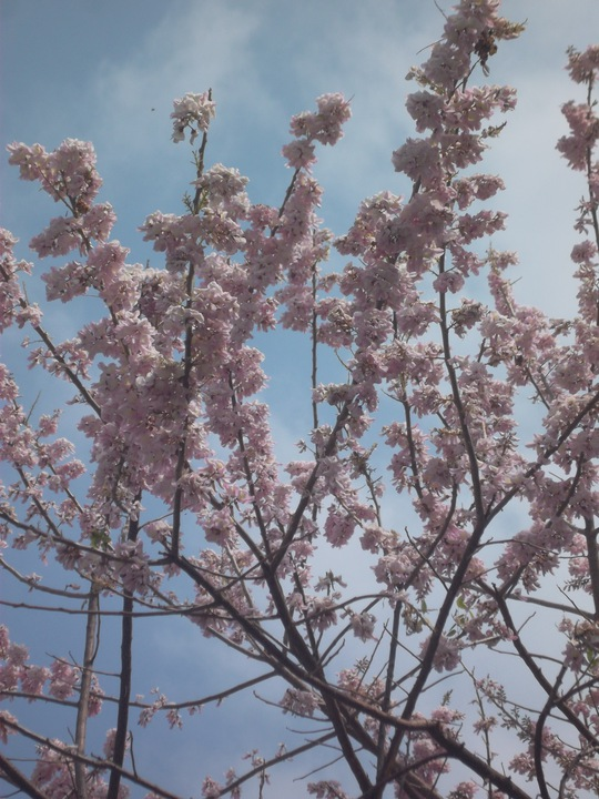 Hoa anh đào nở rộ ở Long Hải, Bà Rịa - Vũng Tàu