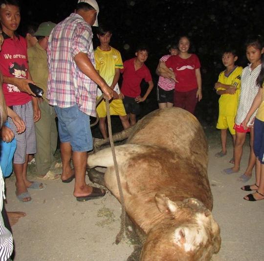 Con bò điên bị lực lượng chức năng bắn hạ. Ảnh: Tú Nguyễn.