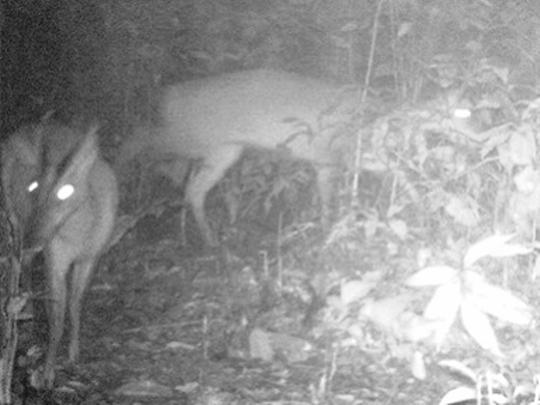 Loài động vật này được cho đã tuyệt chủng vào năm 1929, được các nhà khoa học phát hiện vào năm 2013