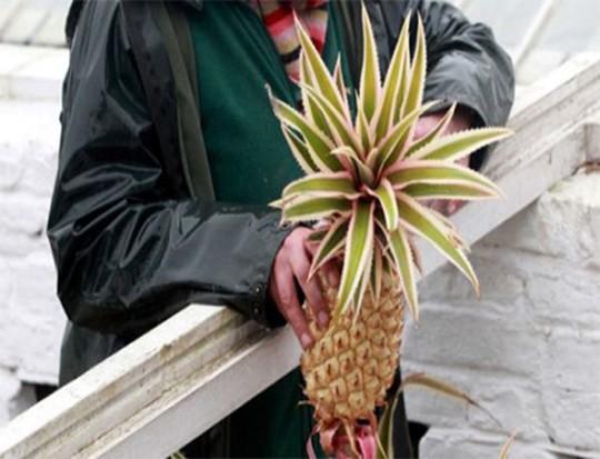 Loại dứa quý ở Anh được trồng trong 2 năm ròng, sử dụng phân ngựa, nước tiểu, rơm và kỹ thuật nông nghiệp truyền thống. Loại dứa này hoàn toàn không dùng đến phân bón hóa học. Chỉ tính riêng chi phí để trồng một quả dưa thế này là khoảng 1.600 USD (khoảng 3,3 triệu đồng).