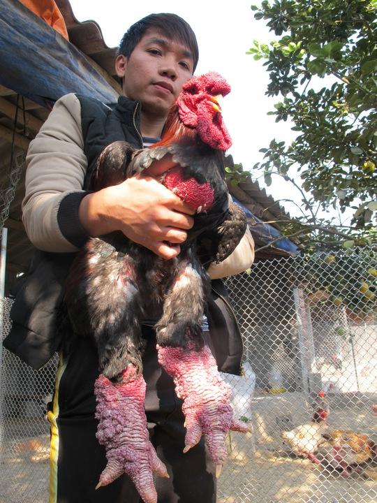 Anh Giang Tuấn Vũ-chủ trại gà ông Phúc bên con gà trống nặng hơn 5kg chuẩn bị giao cho khách hàng