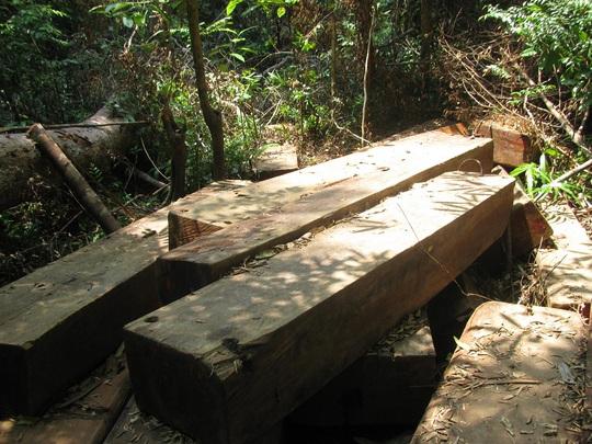 Gỗ quý được phát hiện ngay trong vùng rừng đặc dụng