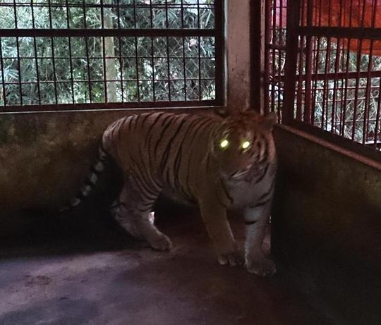 Cá thể hổ phát triển tốt khi được chăm sóc tại VQG Pù Mát