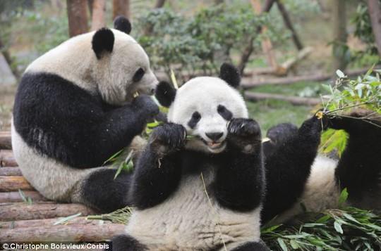 Gấu trúc là loài động vật dễ thương đang đứng trước nguy cơ tuyệt chủng