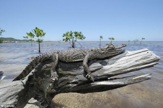Phát hiện loài cá sấu biết leo cây