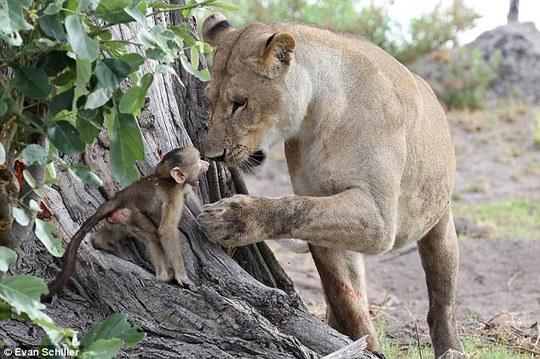 Khỉ mẹ chết, khỉ con quấn quýt sư tử