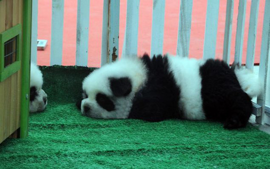 """Chó """"gấu trúc"""" gây sốt ở Trung Quốc"""