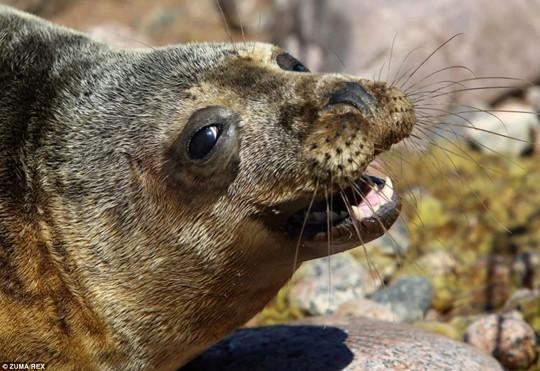 Hương vị của tự do: Chú hải cẩu xám này dường như đang rất hanh phúc khi được trở về thiên nhiên sau những ngày dài được chăm sóc bệnh và chấn thương đặc biệt tại Vịnh Phần Lan