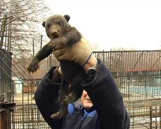 Nhân viên sở thú thất vọng vì cả 3 đều là gấu đực. Ảnh: Daily Mail
