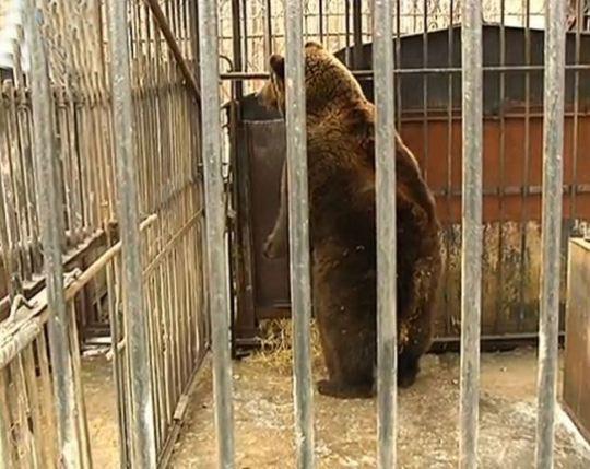 Gấu mẹ bất lực nhìn gấu con bị bắt đi. Ảnh: Daily Mail