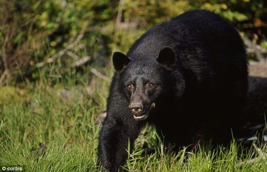 Cách chuyên gia cho rằng đây là thời gian gấu đi kiếm ăn. Ảnh: Daily Mail