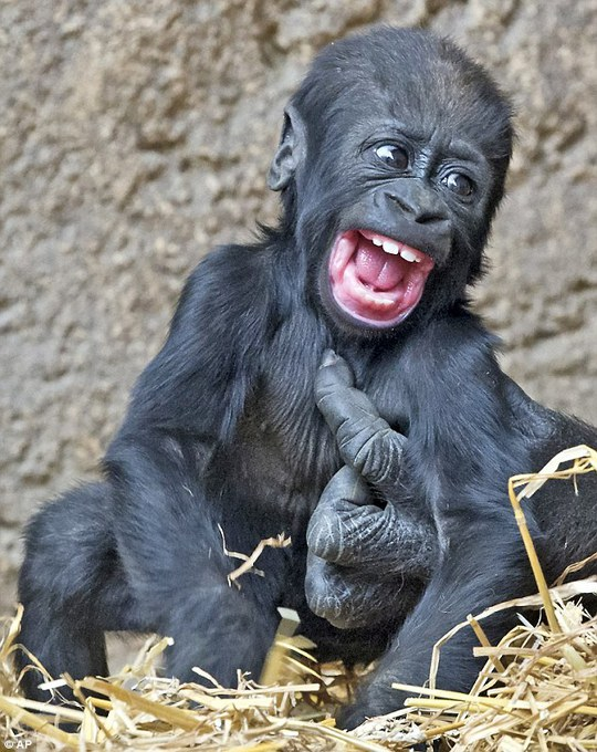 Khỉ con cười thả ga khi bị cù lét