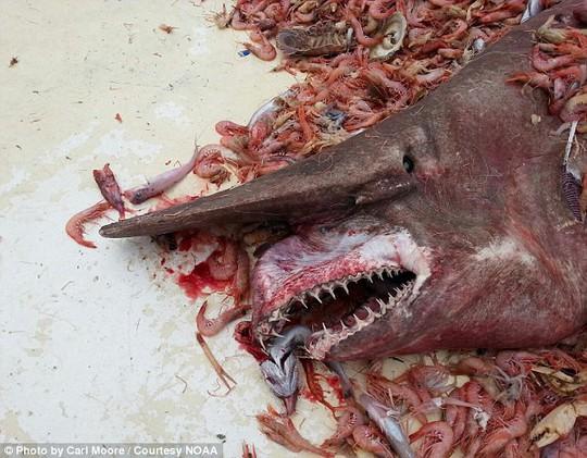 Cận cảnh cá mập yêu tinh mắc lưới ngư dân
