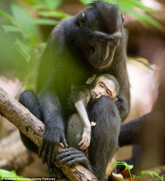 Hai mẹ con khỉ thuộc họ khỉ mào đen