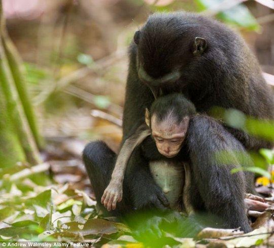 Khỉ nào đen mẹ tiếp tục bồng đứa con đã chết trong 2 ngày nữa