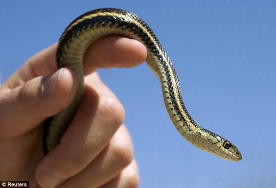 Rắn sọc SanFrancisco có nguy cơ tuyệt chủng. Ảnh: Reuters