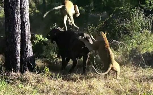 Trâu rừng một mình húc văng 2 sư tử