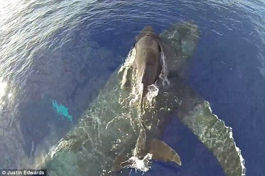 Cá voi mẹ cõng con đi chơi