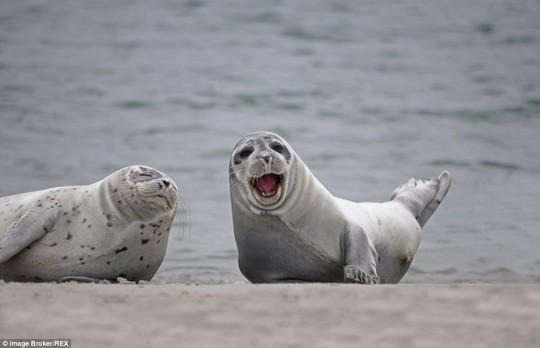 Nụ cười đáng yêu: Hai chú hải cẩu này đang được bắt gặp vui chơi thoải mái trên bãi biển Helgoland – một hòn đảo ngoài khơi của Đức, nổi tiếng với số lượng hải cẩu do không khí trong lành.