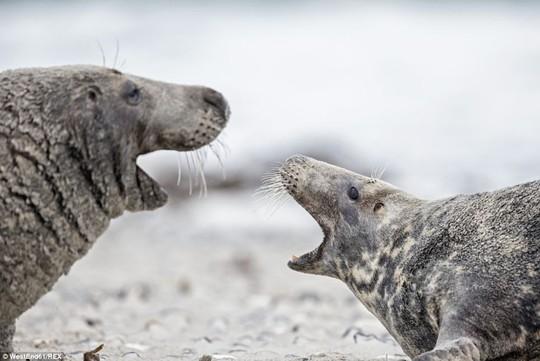 Đối đầu: Hai chú hải cấu xám khổng lồ được chụp lại cũng trên bờ biển Helgoland. Chúng có chiều dài hơn 3 mét và cân nặng trên 300 kg.