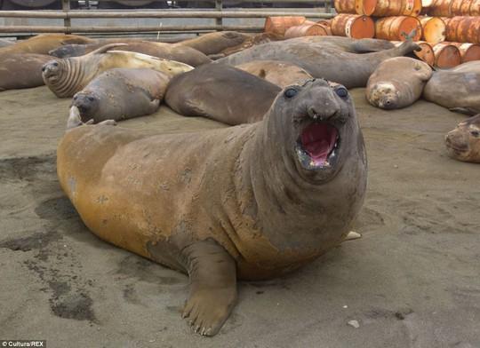 Kinh ngạc: Chú hải cẩu dễ thương với biểu hiện ngạc nhiên trên khuôn mặt.