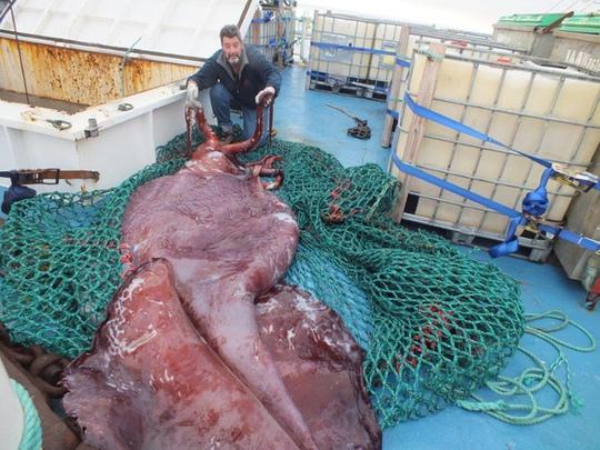 Mực khổng lồ nặng 350 kg