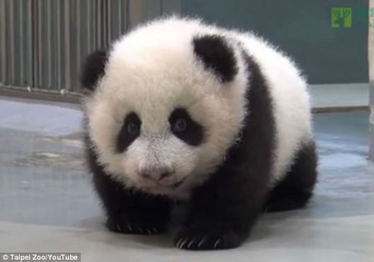 Yuan Zai bị mẹ bắt gặp khi rong chơi trong giờ ngủ