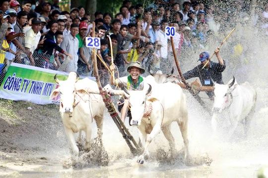 Không ai nghĩ những con bò hiền lành suốt ngày cặm cụi kéo cày lại có thể tạo nên một không khí sôi động đến vậy trong một trường đua rất nhỏ.