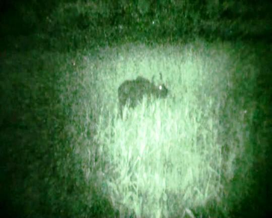 Hình ảnh bò lạ nghi bò tót do PV Báo Người Lao Động ghi lại vào đầu tháng 7-2014