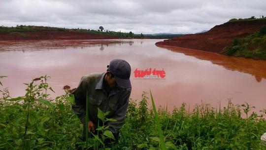 Một nông dân đang hái chè tận thu ngay phần trên của hồ thải quặng đuôi số 5