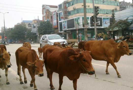 Đàn bò diễu hành trên tuyến quốc lộ 1A chạy qua phường Ba Đình, TP Thanh Hoá