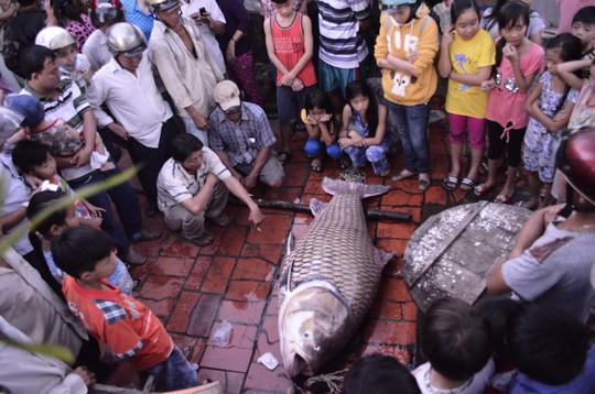 Con cá hô vàng đã chết khi được đưa lên bờ