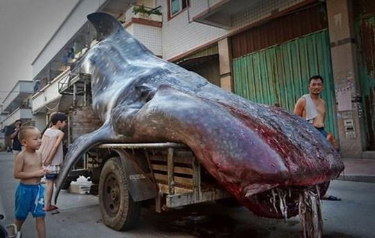 Con cá mập voi mà ông Chengzh bắt được. (Nguồn: CCTV)