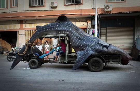 Cá mập voi là loài động vật quý hiếm và không được phép bán ở Trung Quốc. (Nguồn: CCTV)