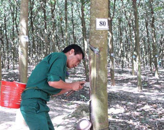 Các công nhân trong phần thi thực hành cạo mủ cao su
