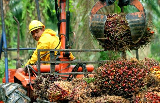Thu hoạch quả cọ tại vườn cọ của Sime Darby Plantation