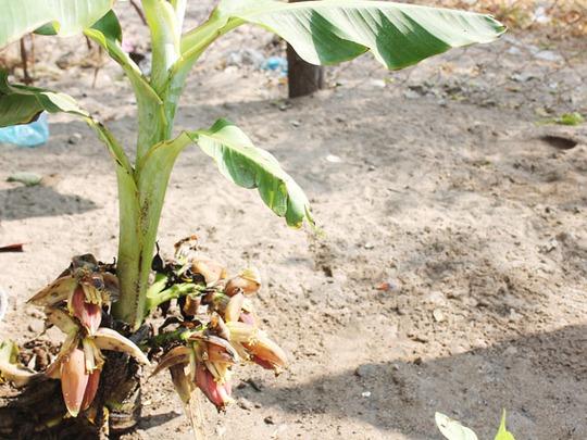 Cây chuối già hương có 6 buồng tại nhà anh Lê Văn Long