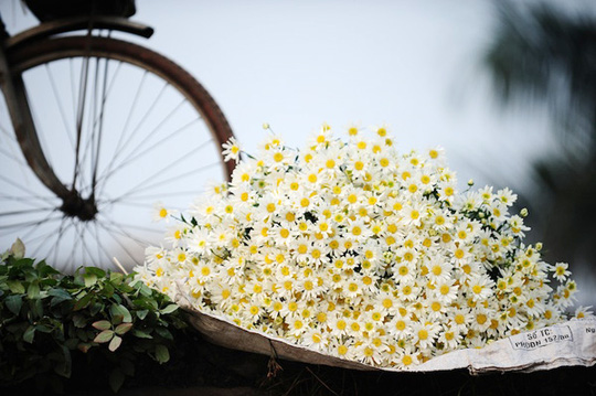 Và người Hà Nội lại nói rằng yêu lắm những đoá hoa cúc hoạ mi