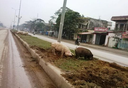 Đàn lợn ủi nát đất, cỏ dải phân cách ở quốc lộ 1A đoạn qua xã Quảng Thịnh, TP Thanh Hóa