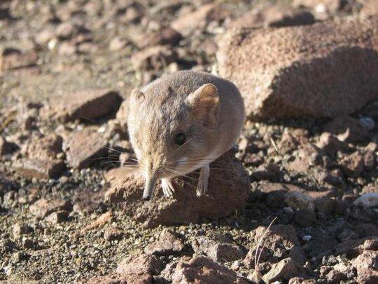 Loài động vật có vú nhỏ bé như chuột được tìm thấy ở châu Phi. Ảnh: Reuters