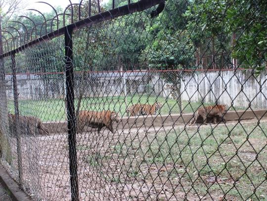 Đột nhập trại nuôi hổ lớn nhất ở Thanh Hóa - Ảnh 14.