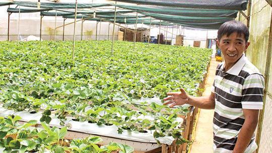 Anh Nguyễn Thanh Trung bên vườn dâu tây của mình. Ảnh: N.H