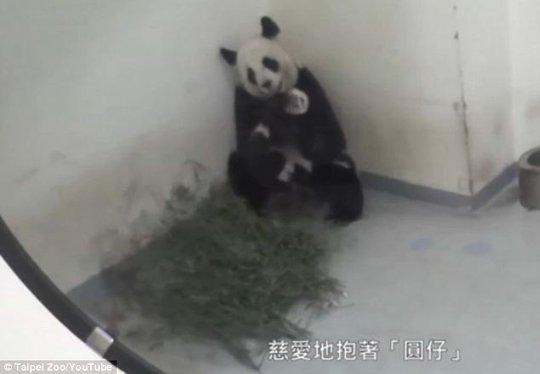 Gấu trúc mẹ dỗ gấu con đi ngủ