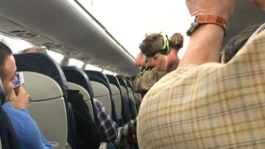 Con lợn được vác lên vai đưa lên máy bay. Ảnh:Robert Phelps (Courant)