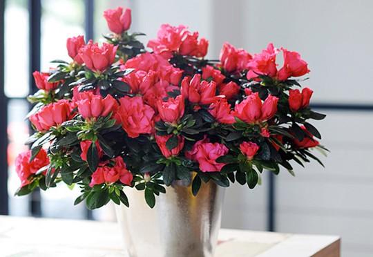 Hoa Đỗ quyên xuất xứ từ Trung Quốc, bán giá khoảng từ 100 ngàn - 300 ngàn đồng. Ảnh: N. N