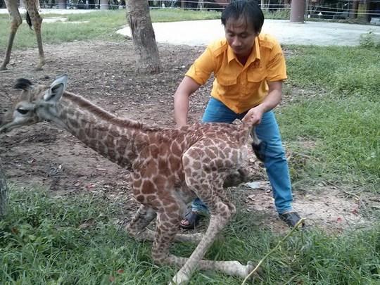 Nhân viên vườn thú Đại Nam chăm sóc chú hươu con vừa chào đời sáng nay